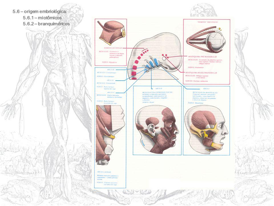 5.6 – origem embriológica:
