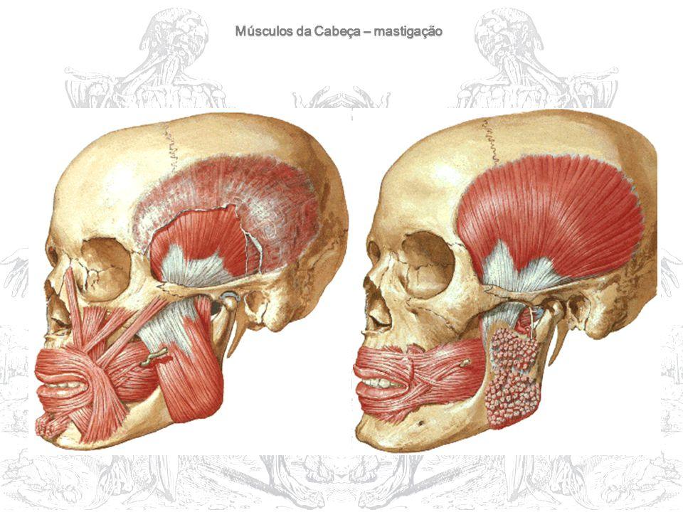 Músculos da Cabeça – mastigação