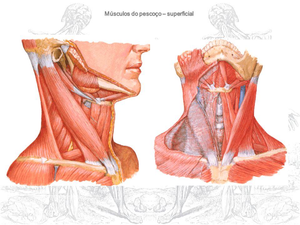Músculos do pescoço – superficial