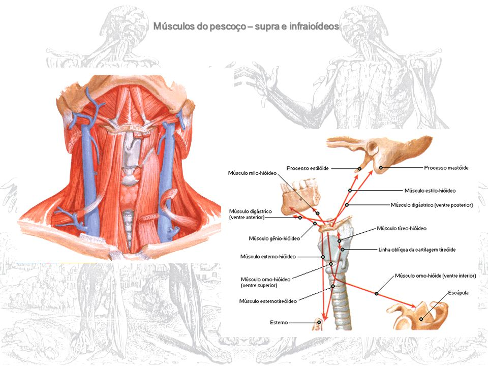 Músculos do pescoço – supra e infraioídeos