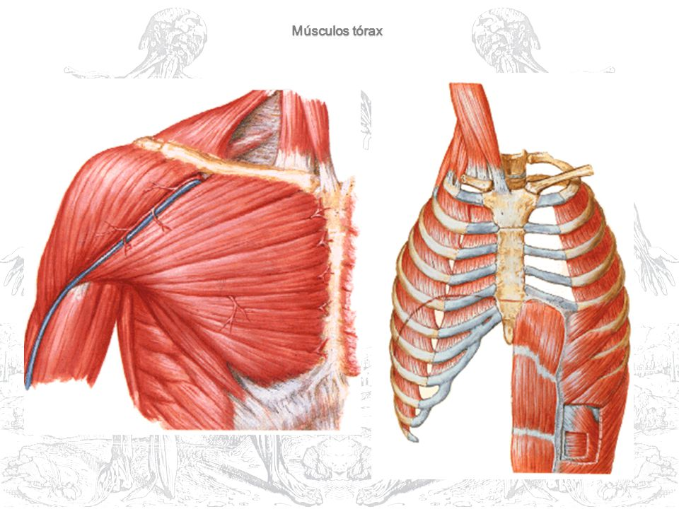 Músculos tórax
