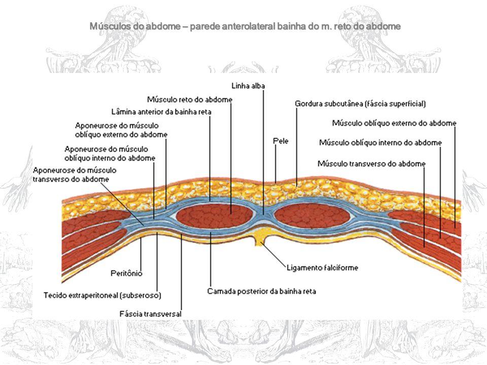 Músculos do abdome – parede anterolateral bainha do m. reto do abdome