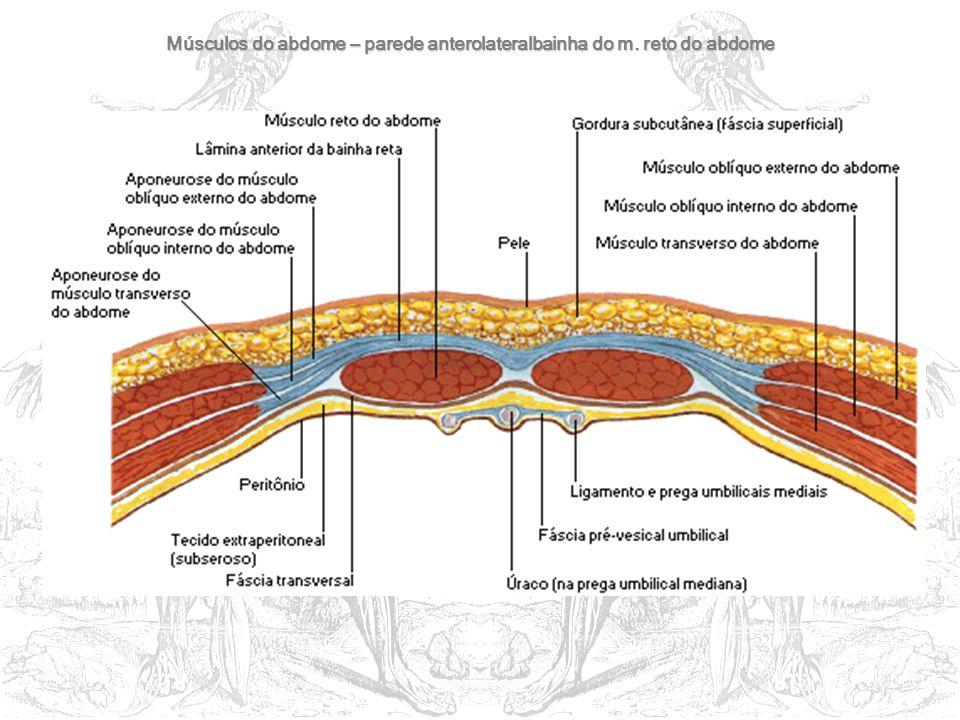 Músculos do abdome – parede anterolateralbainha do m. reto do abdome