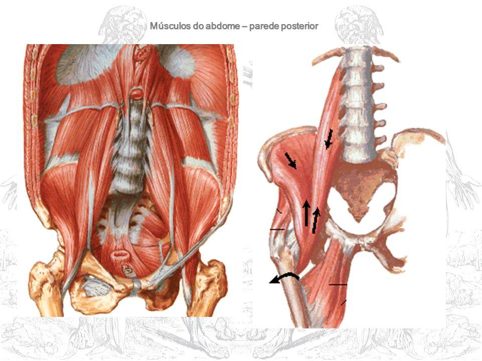 Músculos do abdome – parede posterior