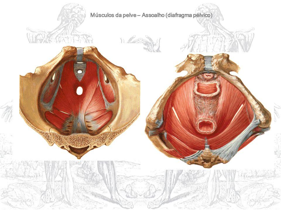 Músculos da pelve – Assoalho (diafragma pélvico)