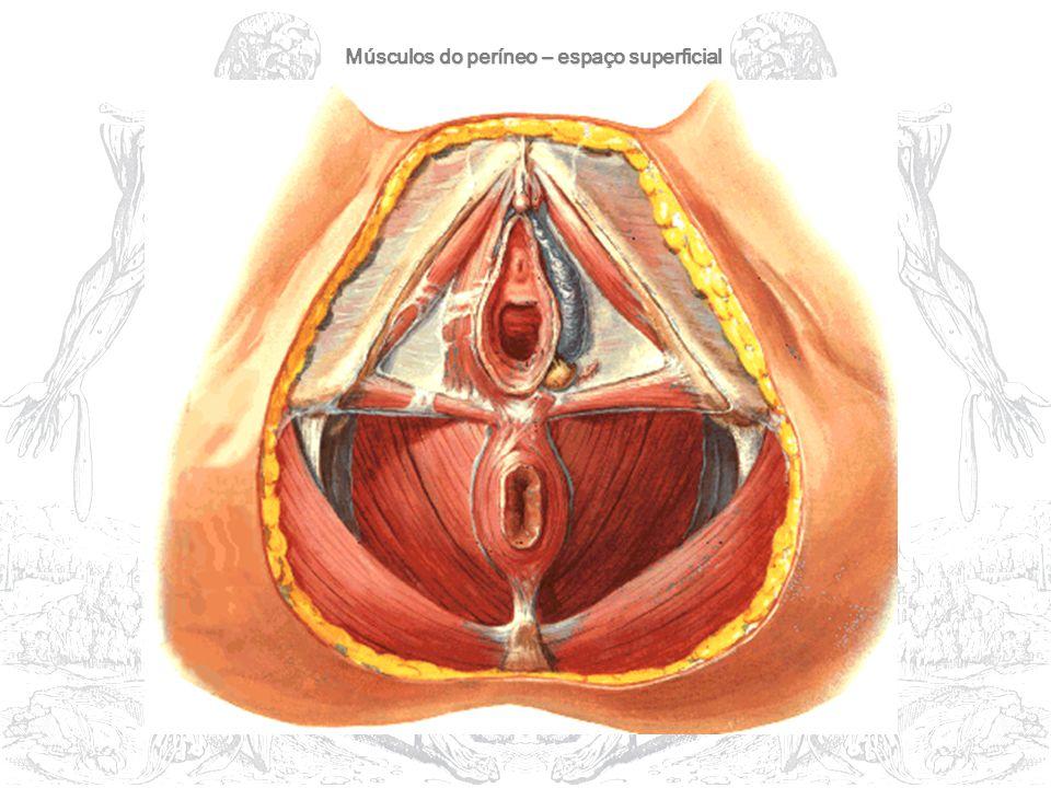 Músculos do períneo – espaço superficial