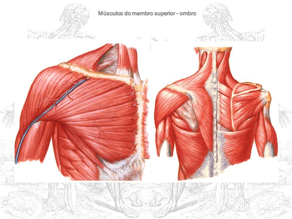 Músculos do membro superior - ombro