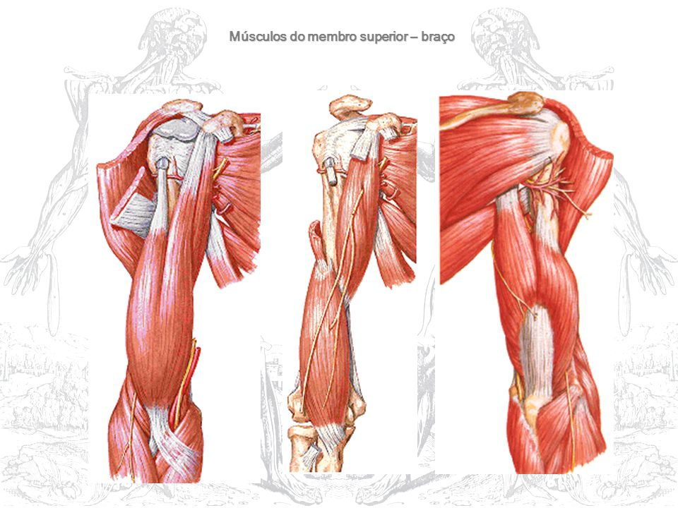 Músculos do membro superior – braço