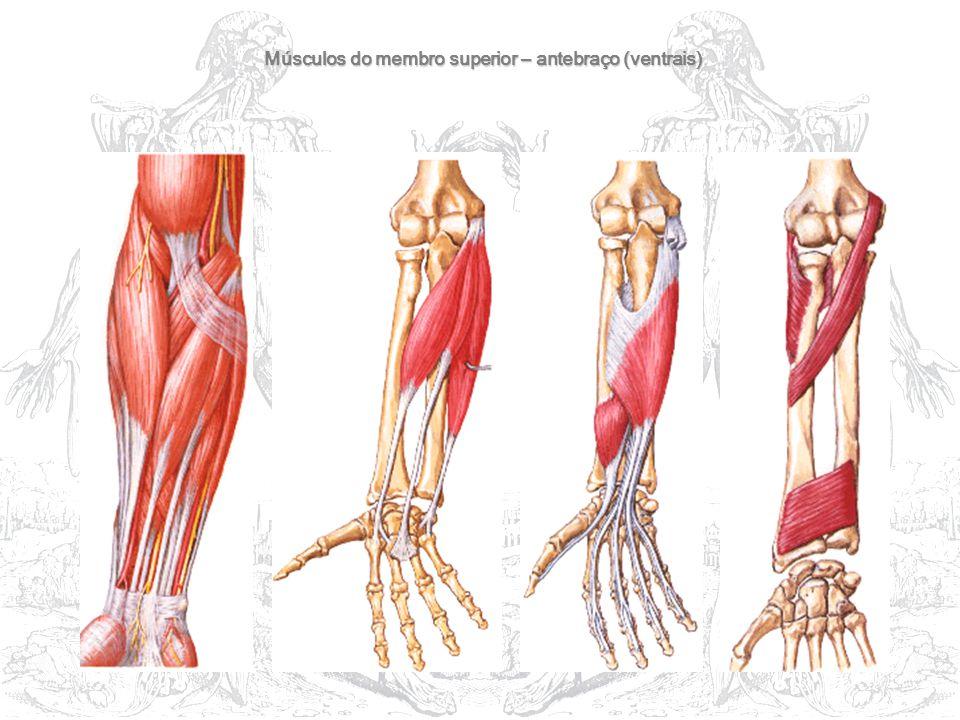 Músculos do membro superior – antebraço (ventrais)