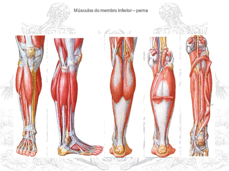 Músculos do membro inferior – perna