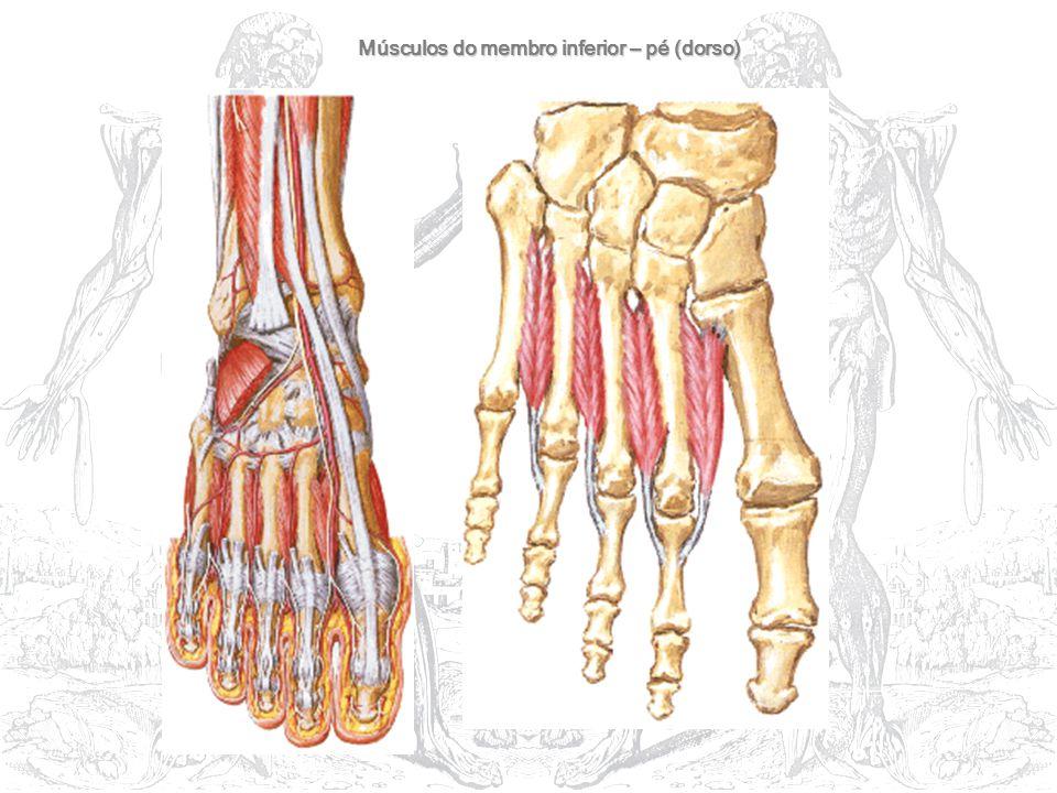 Músculos do membro inferior – pé (dorso)