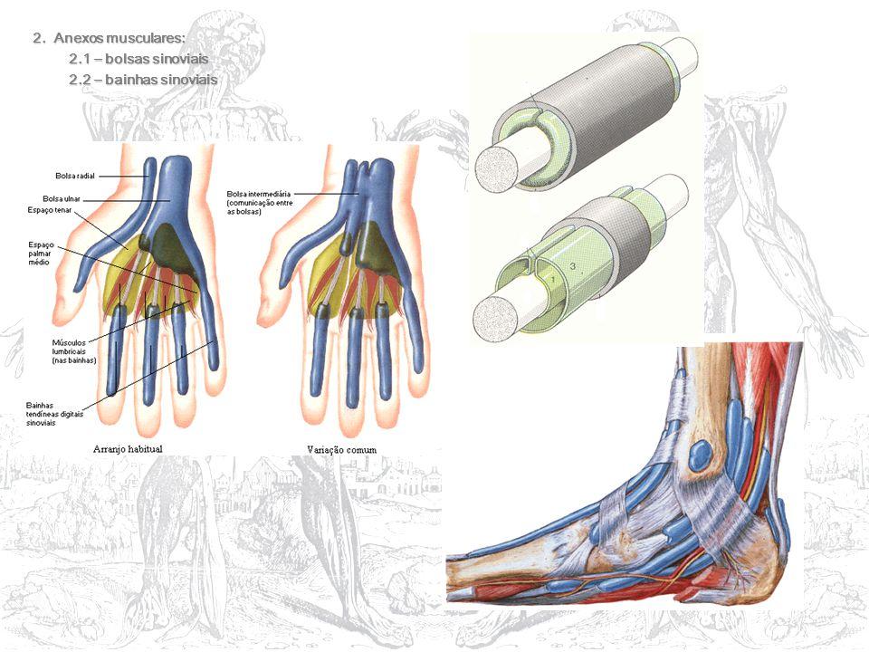 2. Anexos musculares: 2.1 – bolsas sinoviais 2.2 – bainhas sinoviais
