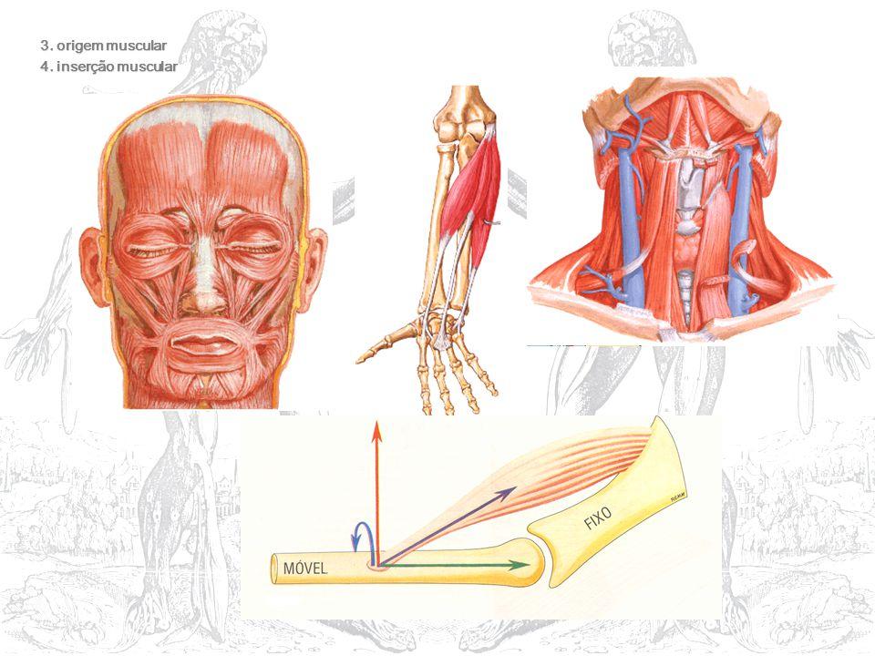 3. origem muscular 4. inserção muscular