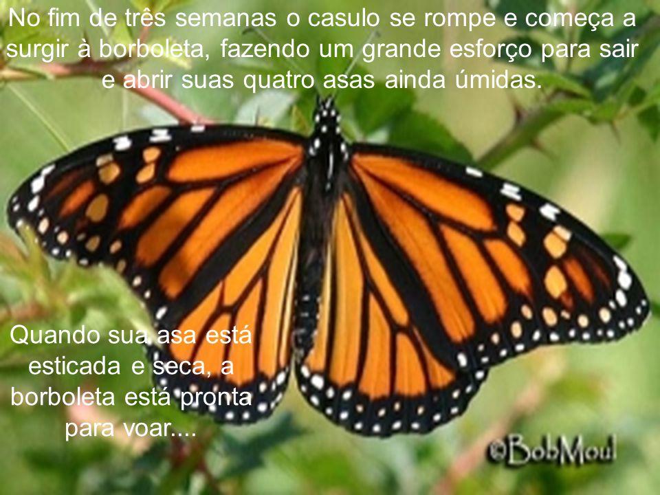 No fim de três semanas o casulo se rompe e começa a surgir à borboleta, fazendo um grande esforço para sair e abrir suas quatro asas ainda úmidas.