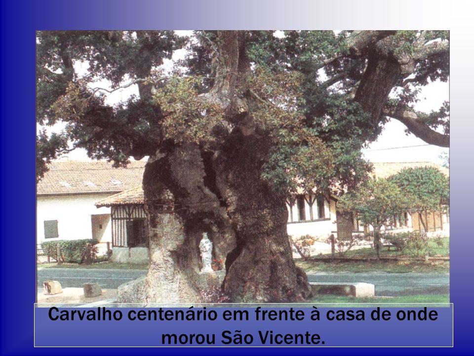 Carvalho centenário em frente à casa de onde morou São Vicente.