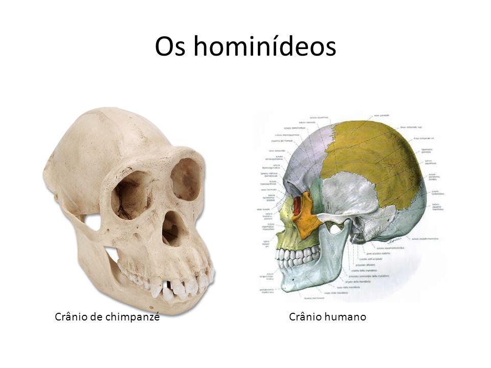 Os hominídeos Crânio de chimpanzé Crânio humano