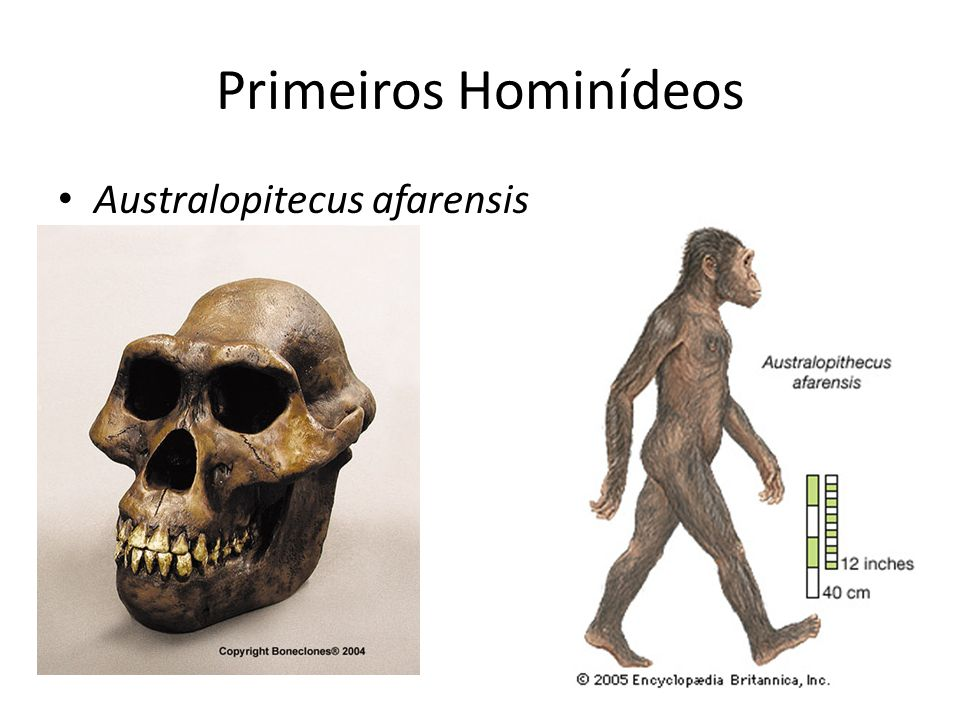 Primeiros Hominídeos Australopitecus afarensis