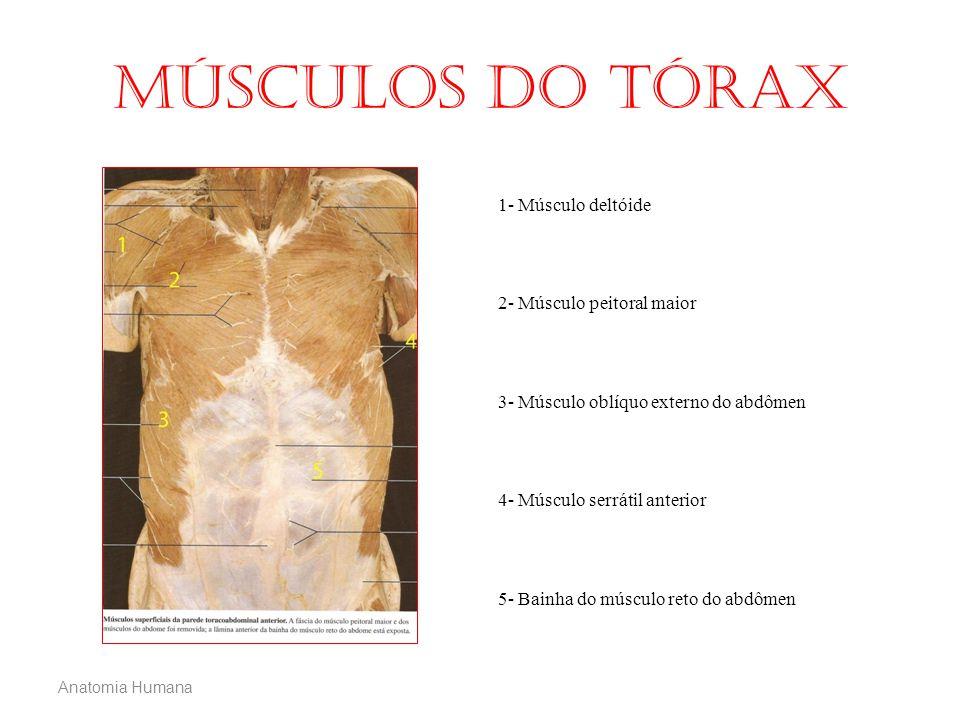Músculos do tórax 1- Músculo deltóide 2- Músculo peitoral maior