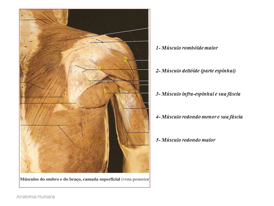 1- Músculo rombóide maior