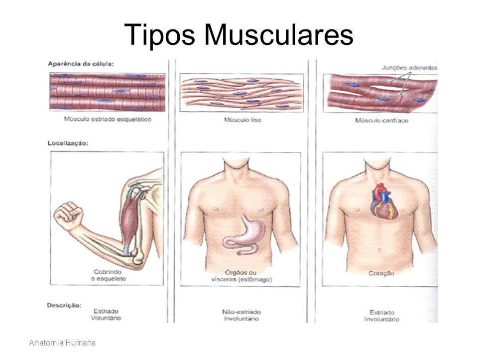 Tipos Musculares Anatomia Humana
