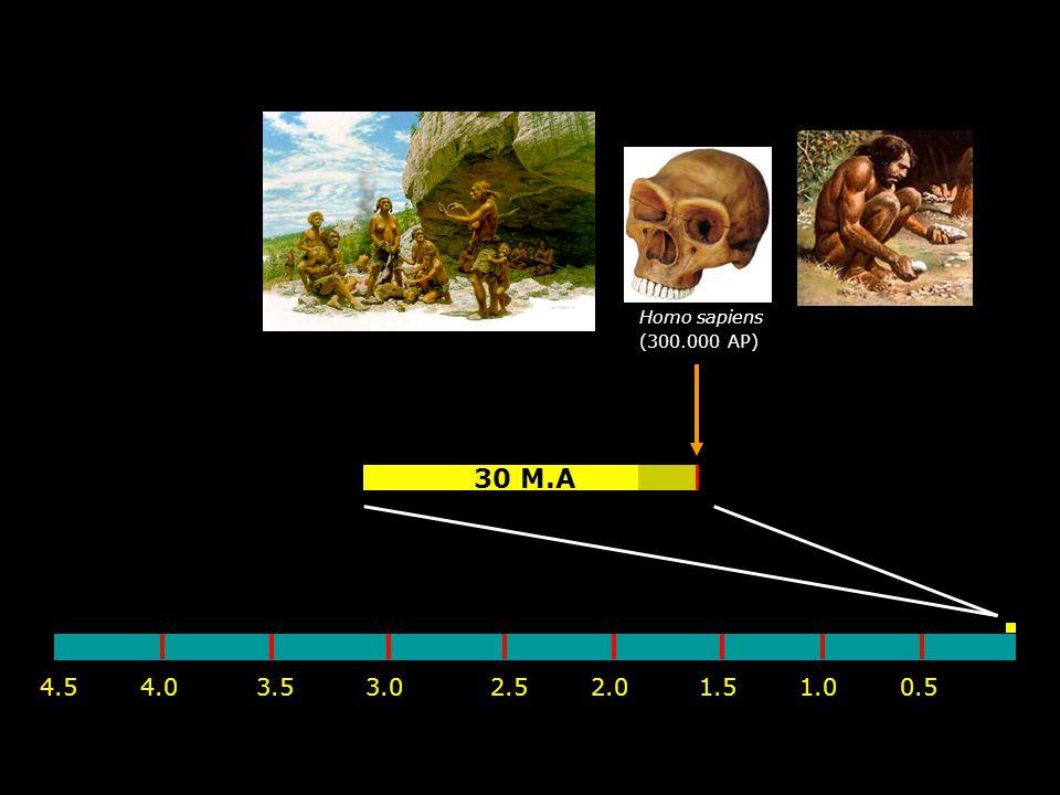 Homo sapiens (300.000 AP) 30 M.A 4.5 4.0 3.5 3.0 2.0 2.5 1.0 1.5 0.5
