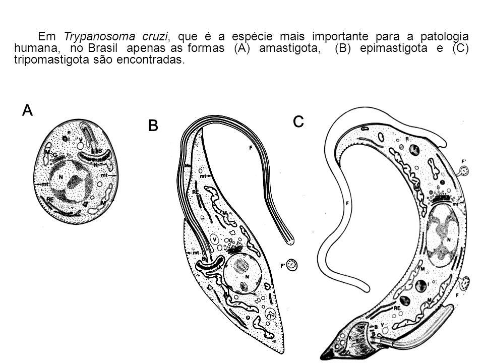 Em Trypanosoma cruzi, que é a espécie mais importante para a patologia humana, no Brasil apenas as formas (A) amastigota, (B) epimastigota e (C) tripomastigota são encontradas.
