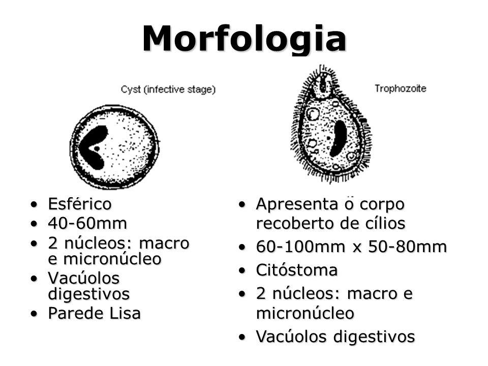 Morfologia Apresenta o corpo recoberto de cílios Esférico 40-60mm