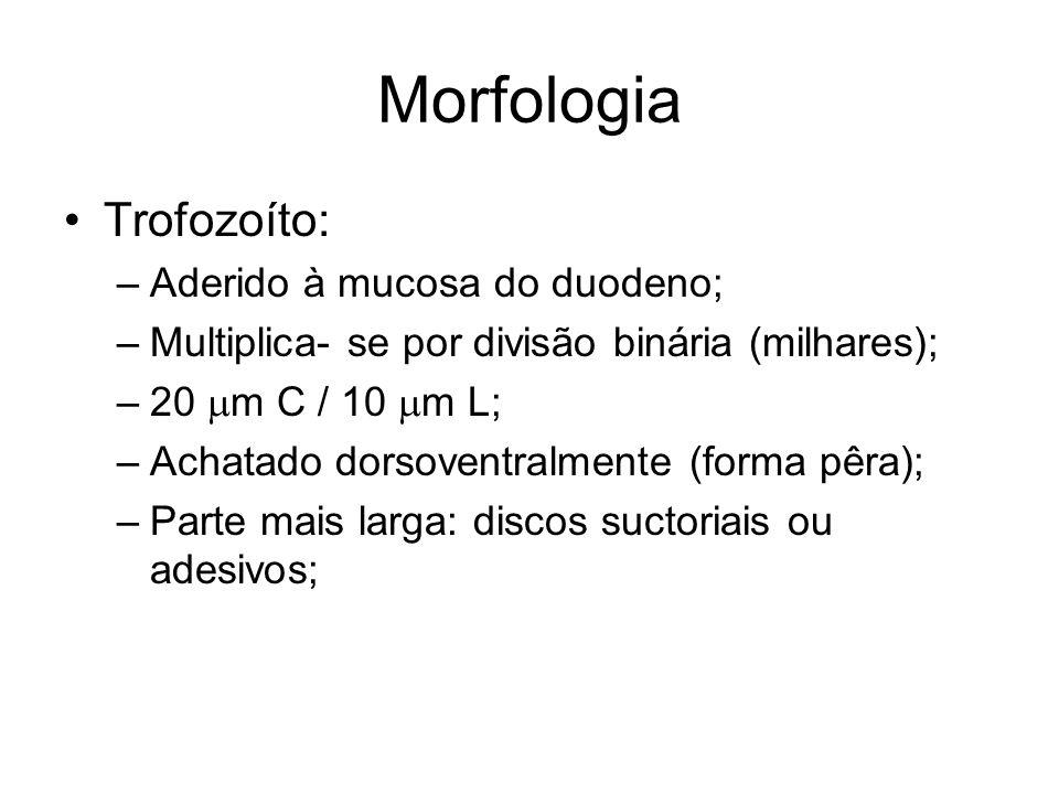 Morfologia Trofozoíto: Aderido à mucosa do duodeno;