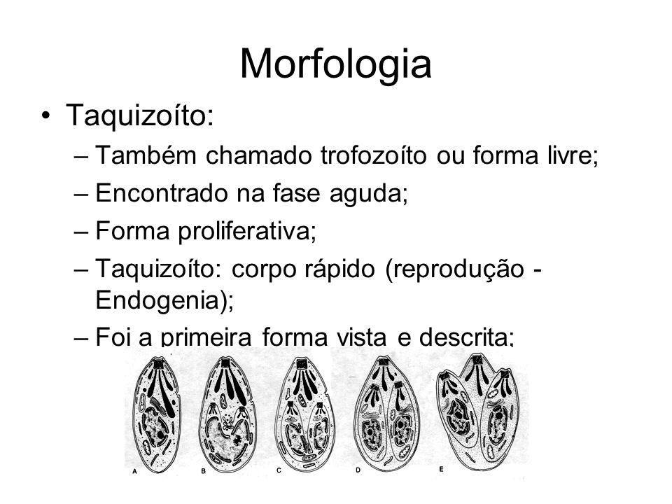 Morfologia Taquizoíto: Também chamado trofozoíto ou forma livre;