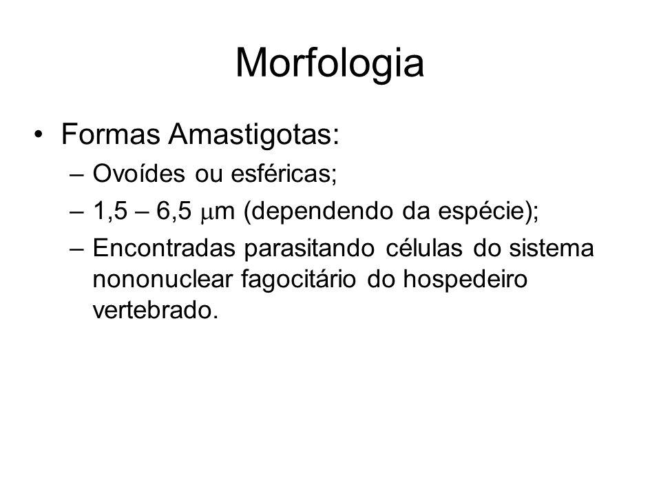 Morfologia Formas Amastigotas: Ovoídes ou esféricas;