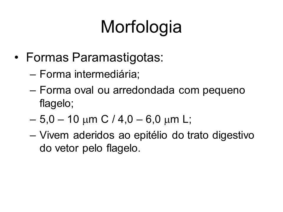 Morfologia Formas Paramastigotas: Forma intermediária;