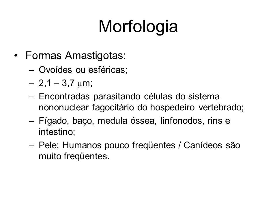 Morfologia Formas Amastigotas: Ovoídes ou esféricas; 2,1 – 3,7 mm;