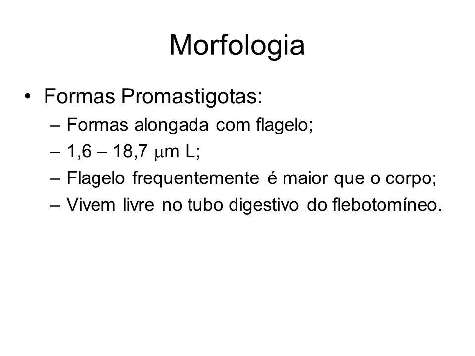 Morfologia Formas Promastigotas: Formas alongada com flagelo;