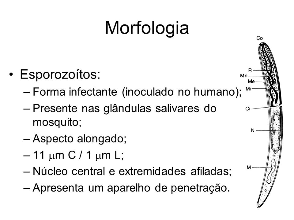 Morfologia Esporozoítos: Forma infectante (inoculado no humano);