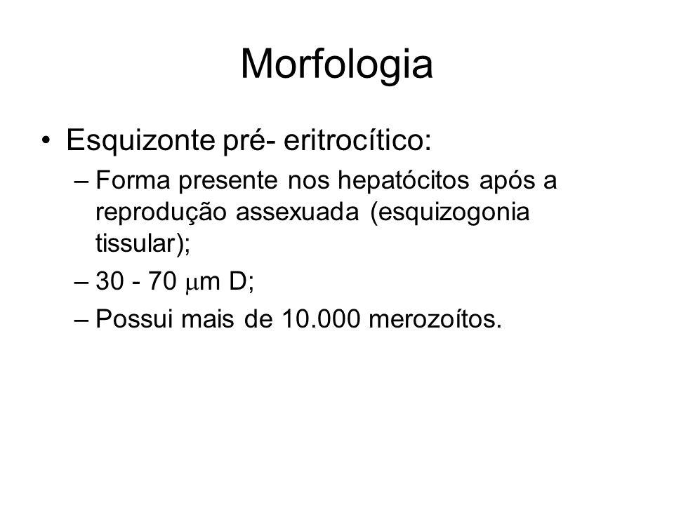 Morfologia Esquizonte pré- eritrocítico: