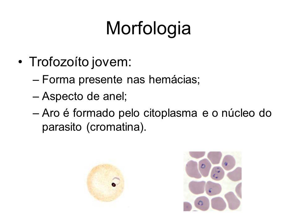 Morfologia Trofozoíto jovem: Forma presente nas hemácias;