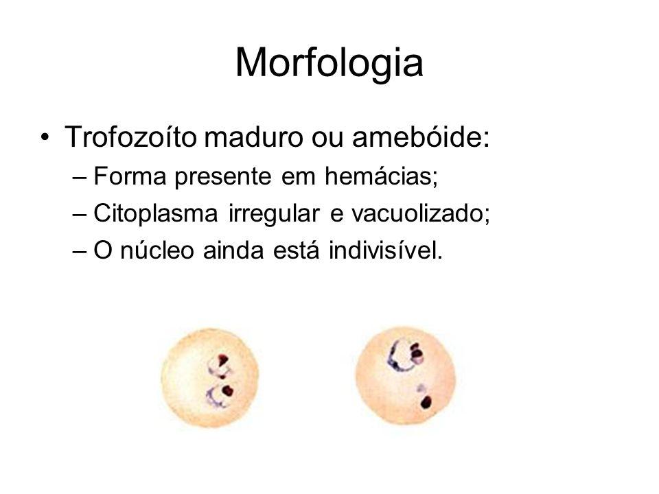 Morfologia Trofozoíto maduro ou amebóide: Forma presente em hemácias;