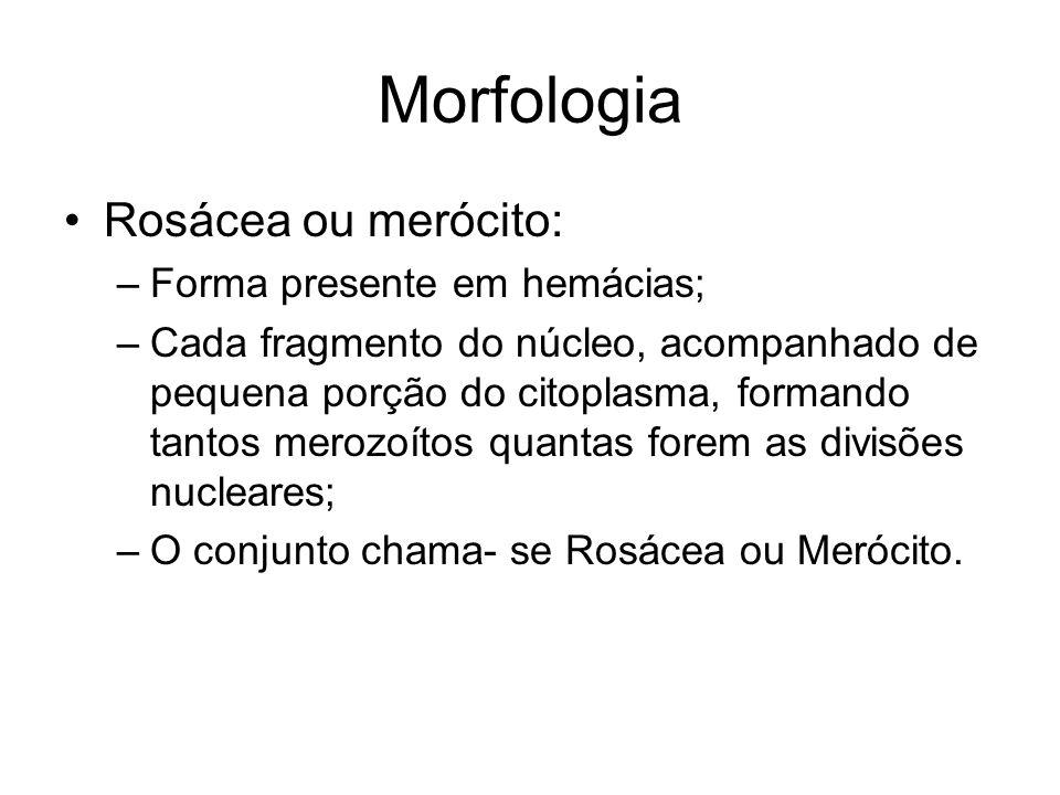 Morfologia Rosácea ou merócito: Forma presente em hemácias;