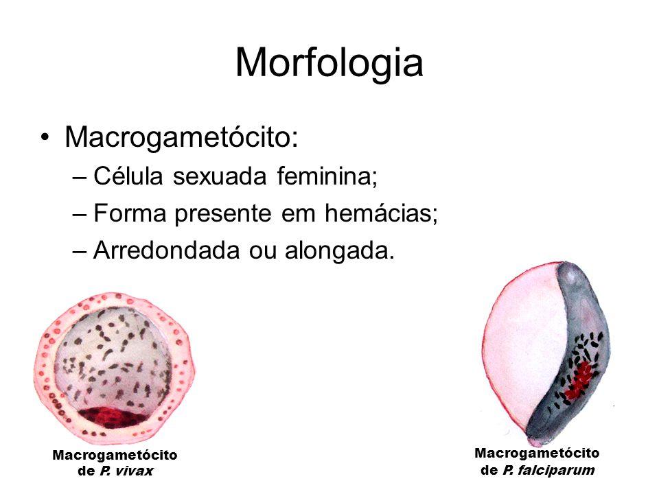 Morfologia Macrogametócito: Célula sexuada feminina;