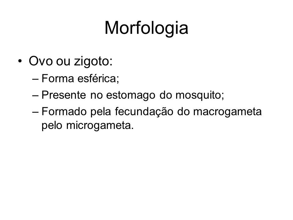 Morfologia Ovo ou zigoto: Forma esférica;