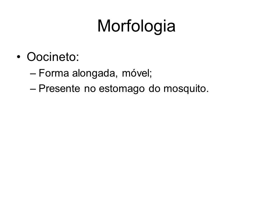 Morfologia Oocineto: Forma alongada, móvel;