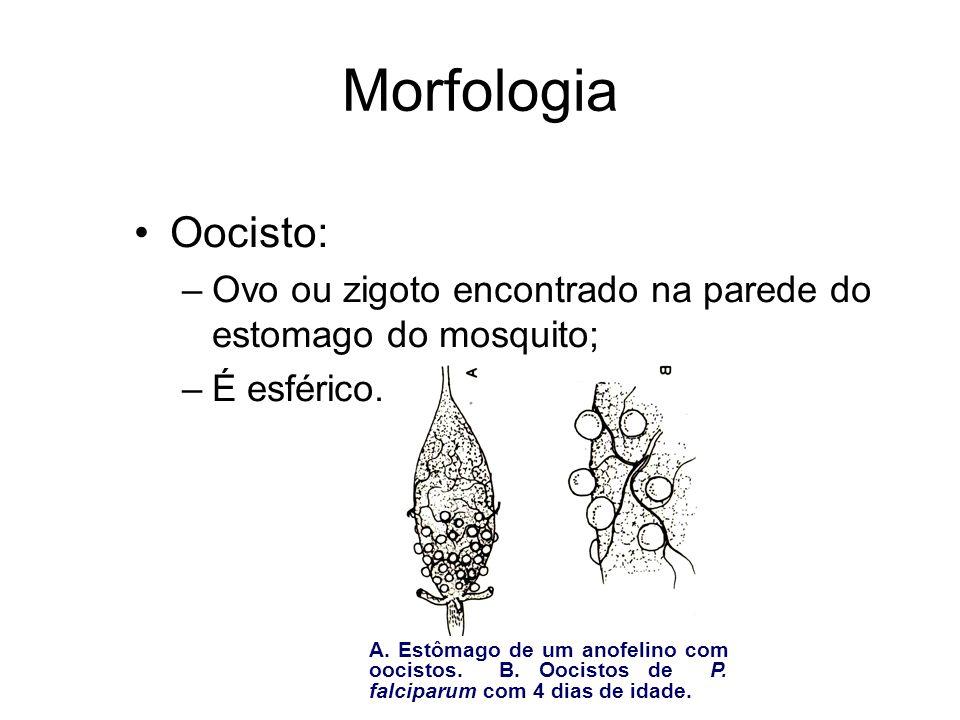 Morfologia Oocisto: Ovo ou zigoto encontrado na parede do estomago do mosquito; É esférico.
