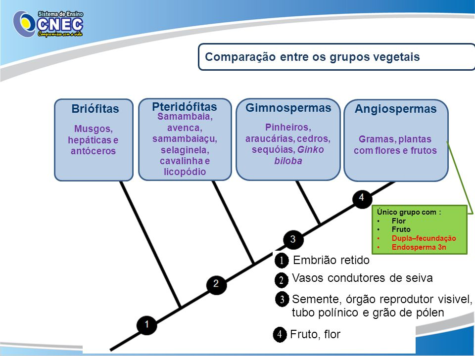 Briófitas Pteridófitas Gimnospermas Angiospermas
