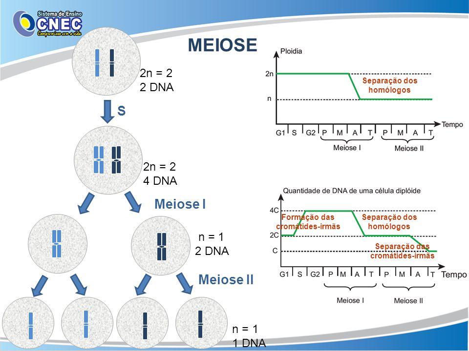 MEIOSE S Meiose I Meiose II 2n = 2 2 DNA 2n = 2 4 DNA n = 1 2 DNA