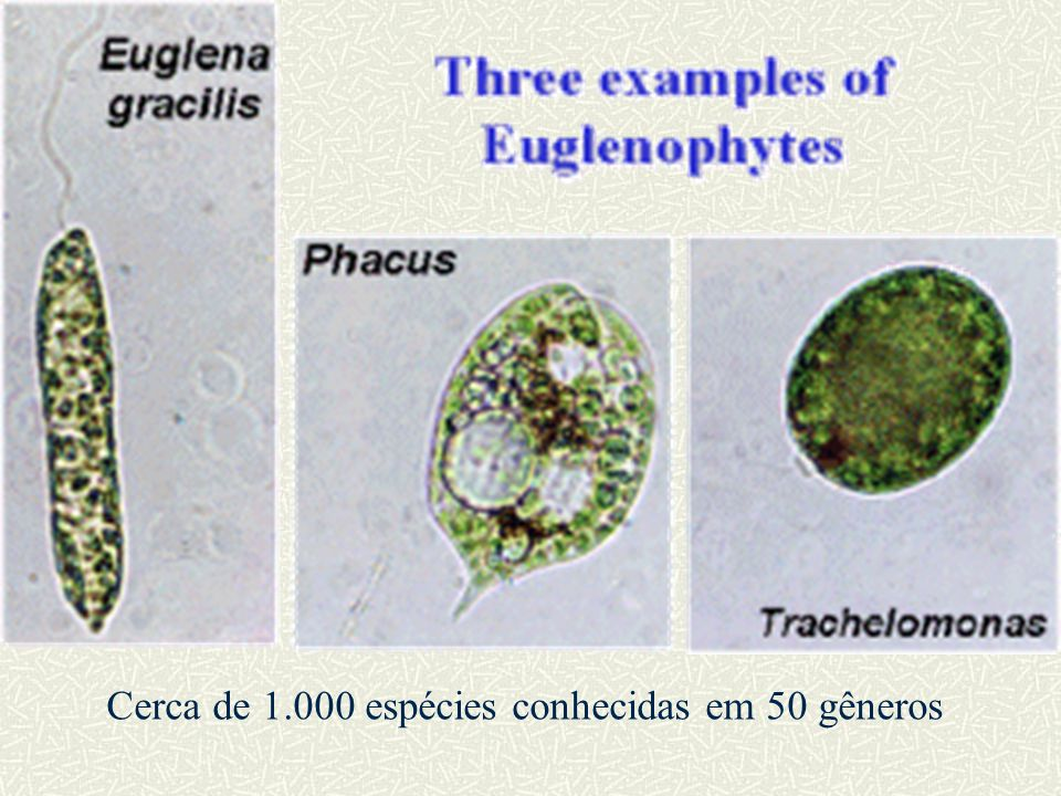 Cerca de 1.000 espécies conhecidas em 50 gêneros