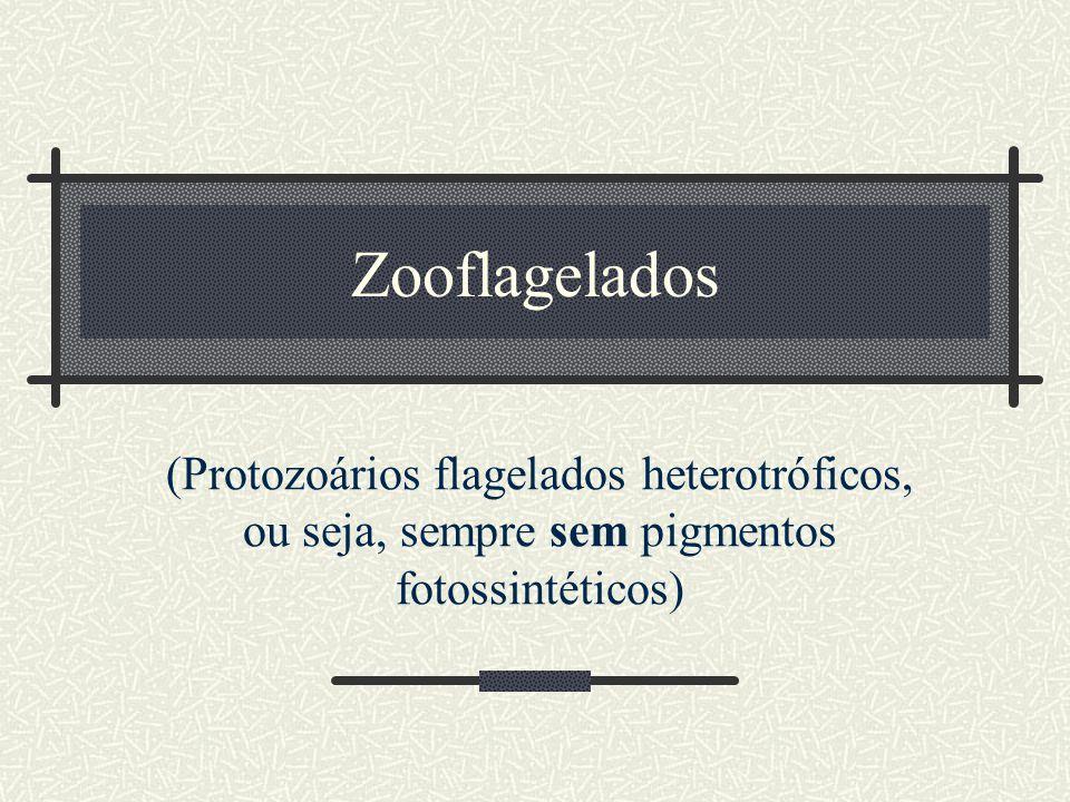 Zooflagelados (Protozoários flagelados heterotróficos, ou seja, sempre sem pigmentos fotossintéticos)
