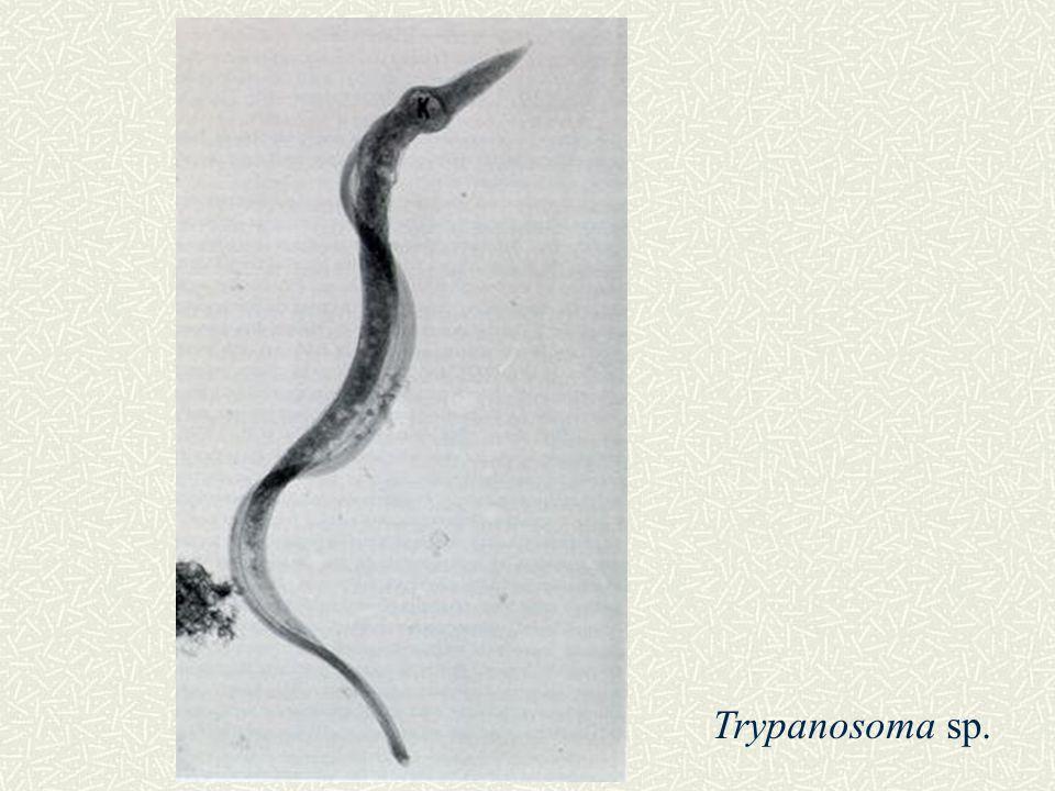 Trypanosoma sp.