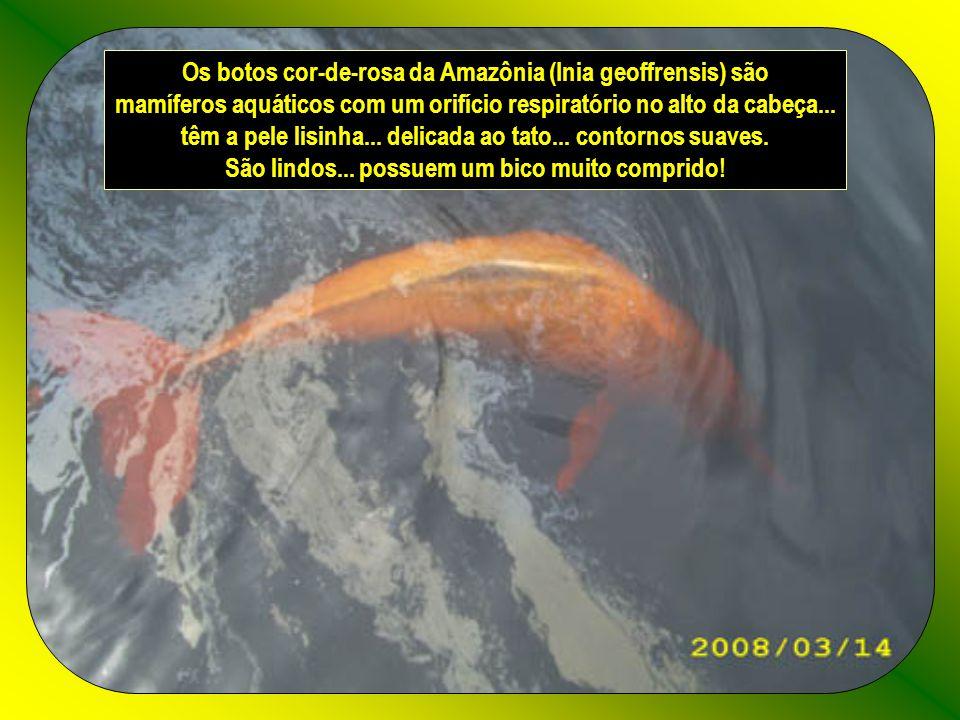 Os botos cor-de-rosa da Amazônia (Inia geoffrensis) são