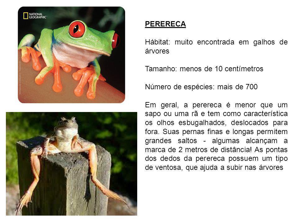 PERERECA Hábitat: muito encontrada em galhos de árvores. Tamanho: menos de 10 centímetros. Número de espécies: mais de 700.