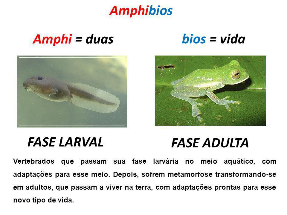 Amphibios Amphi = duas bios = vida FASE LARVAL FASE ADULTA